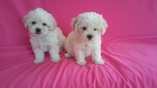Maltese-Poodle (Toy) Mix Puppy for sale in WHITTIER, CA, USA