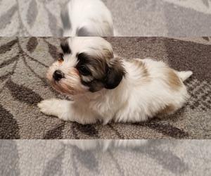 Zuchon Puppy for Sale in SHAWNEE, Kansas USA