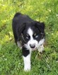Australian Shepherd Puppy For Sale in MARION CENTER, PA, USA