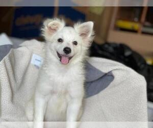 Pomeranian Dog for Adoption in BOSTON, Massachusetts USA