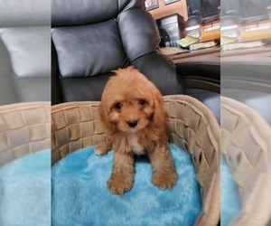 Cavapoo Puppy for sale in KENDALL, WI, USA