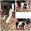 German Shorthaired Pointer Puppy For Sale in LURAY, Indiana,
