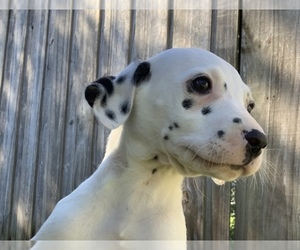 Dalmatian Puppy for sale in MERRITT IS, FL, USA