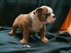 English Bulldog Puppy For Sale in CUTLER BAY, Florida,