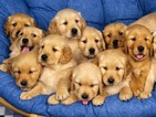 Golden Retriever Puppy For Sale in ALLIANCE, NE,