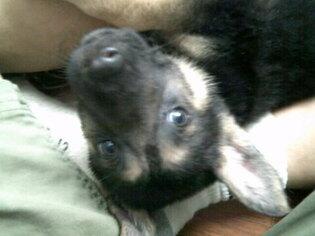 German Shepherd Dog Puppy For Sale in COLVILLE, WA, USA