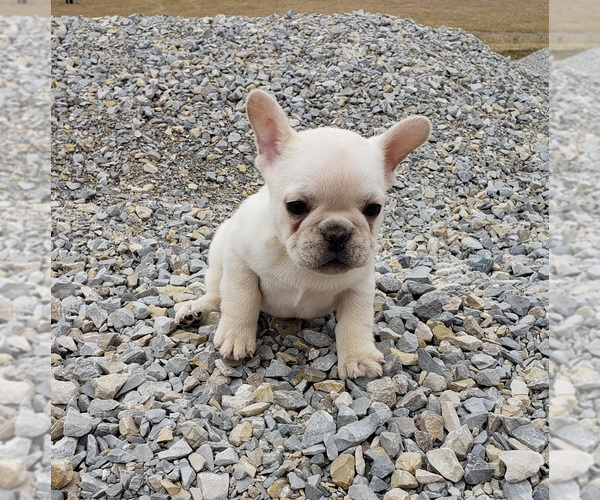 Medium Photo #4 French Bulldog Puppy For Sale in WEST PLAINS, MO, USA