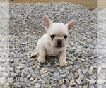 Small Photo #4 French Bulldog Puppy For Sale in WEST PLAINS, MO, USA