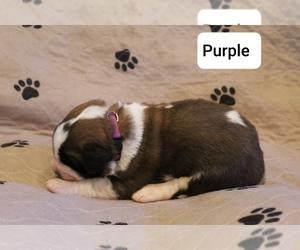 Saint Bernard Puppy for Sale in BERESFORD, South Dakota USA
