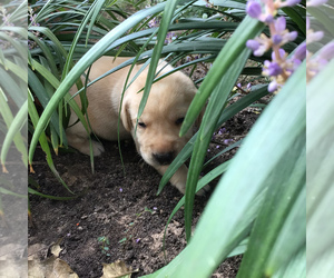 Labrador Retriever Puppy for Sale in ADKINS, Texas USA