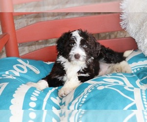 F2 Aussiedoodle Puppy for sale in ADOLPHUS, KY, USA