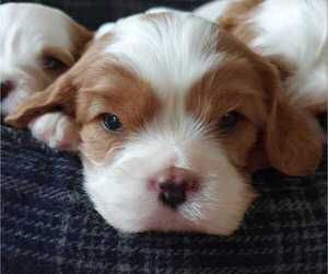Cavalier King Charles Spaniel Puppy for Sale in MOUNTAIN GROVE, Missouri USA