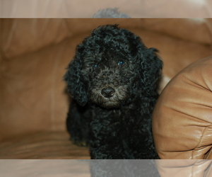 Labradoodle-Poodle (Standard) Mix Dog for Adoption in WALDRON, Arkansas USA