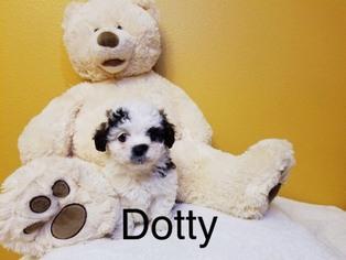 Shih-Poo Puppy For Sale in GARDENA, CA, USA