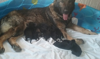 German Shepherd Dog Puppy For Sale in KINGSPORT, TN
