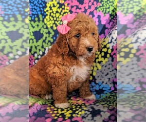 Goldendoodle-Poodle (Miniature) Mix Puppy for sale in LANCASTER, PA, USA