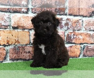 YorkiePoo Puppy for sale in BEL AIR, MD, USA