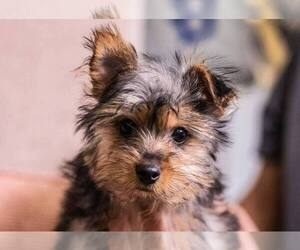 Yorkshire Terrier Dog for Adoption in FULLERTON, California USA