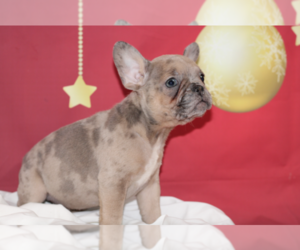 French Bulldog Puppy for sale in CENTURY CITY, CA, USA