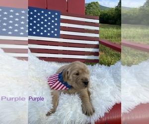 Golden Retriever Puppy for Sale in PATRICK SPGS, Virginia USA