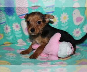 Yoranian Puppy for sale in BASTROP, LA, USA