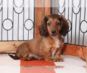 Dachshund Puppy for sale in NAPLES, FL, USA