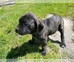 Small #26 Mastiff