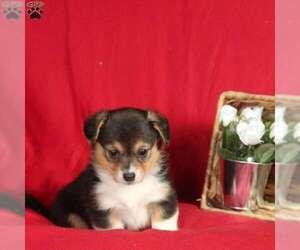 Pembroke Welsh Corgi Puppy for Sale in MILLERSBURG, Pennsylvania USA