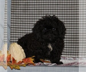 Havanese-Poodle (Toy) Mix Dog for Adoption in CHRISTIANA, Pennsylvania USA