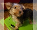Small #4 Yoranian-Yorkshire Terrier Mix