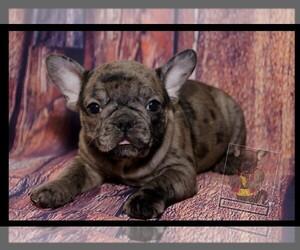 French Bulldog Puppy for sale in NORFOLK, VA, USA