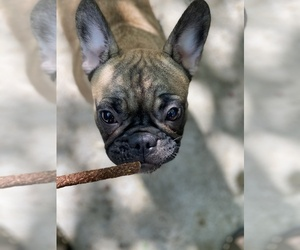 Bulldog Puppy for sale in SACRAMENTO, CA, USA