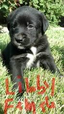 Bernese Mountain Dog-Labrador Retriever Mix Puppy For Sale in SULLIVAN, IL, USA