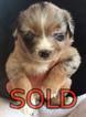 Australian Shepherd Puppy For Sale in SHERIDAN, OR, USA