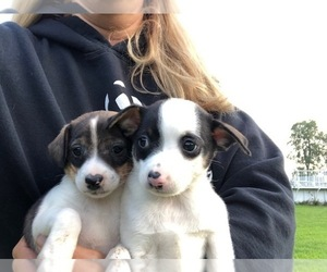 Jack Russell Terrier-Unknown Mix Dogs for adoption in ARMADA, MI, USA