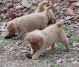 View Ad Golden Retriever Puppy For Sale Near Georgia Blairsville