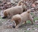 Golden Retriever Puppy For Sale in BLAIRSVILLE, GA