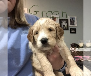 Goldendoodle Puppy for sale in BIGGERSVILLE, MS, USA