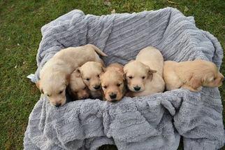 View Ad Golden Retriever Puppy For Sale Minnesota Baxter Usa