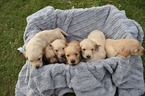 Golden Retriever Puppy For Sale in BAXTER, MN, USA
