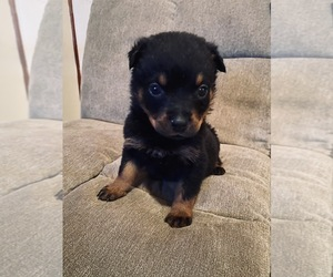 Rottweiler Puppy for sale in BEAVER FALLS, PA, USA