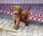Small Labradoodle