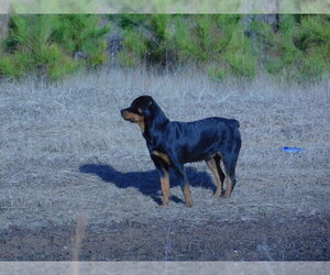 Rottweiler Puppy for sale in ACKERMAN, MS, USA