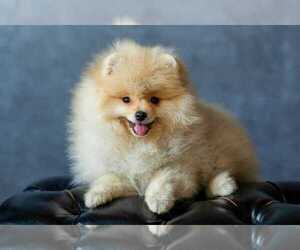 Pomeranian Dog for Adoption in KLEIN, Texas USA