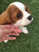 Cavalier King Charles Spaniel Puppy For Sale in OCEANSIDE, CA