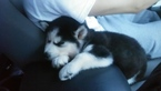 Siberian Husky Puppy For Sale in PORTLAND, OR