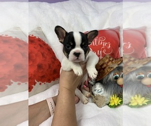 French Bulldog Puppy for Sale in JACKSONVILLE, Florida USA