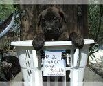 Puppy 1 Dutch Shepherd Dog