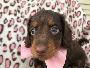Dachshund Puppy For Sale in QUARRYVILLE, PA, USA