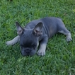 French Bulldog Puppy For Sale in NORCO, CA, USA